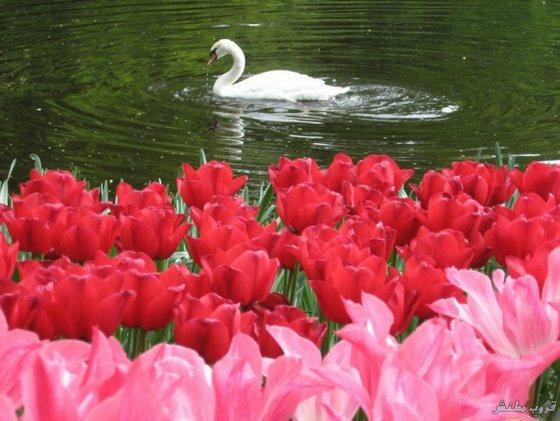 بالصور صور ورد صور ورد , اجمل الصور عن الورد 5480 7