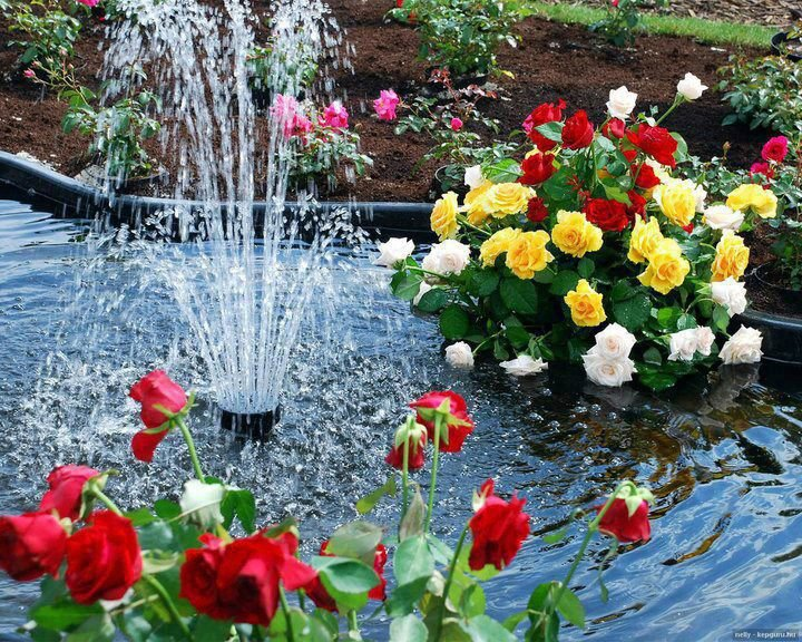 بالصور صور ورد صور ورد , اجمل الصور عن الورد 5480 8