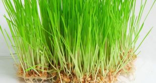 صور عشبة القمح , ماهى فوائد عشبه القمح