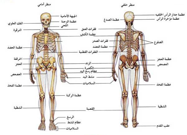 بالصور صور جسم الانسان , صور لجسم الانسان 5493 4
