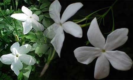 بالصور صور ورد الياسمين , صور جميلة لورد والياسمين 5636 5
