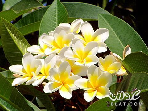 بالصور صور ورد الياسمين , صور جميلة لورد والياسمين 5636 9