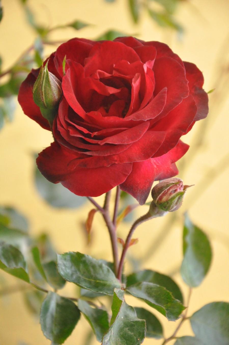 بالصور صور اجمل الورود , صور ائعة لاجمل الورود 5680 2