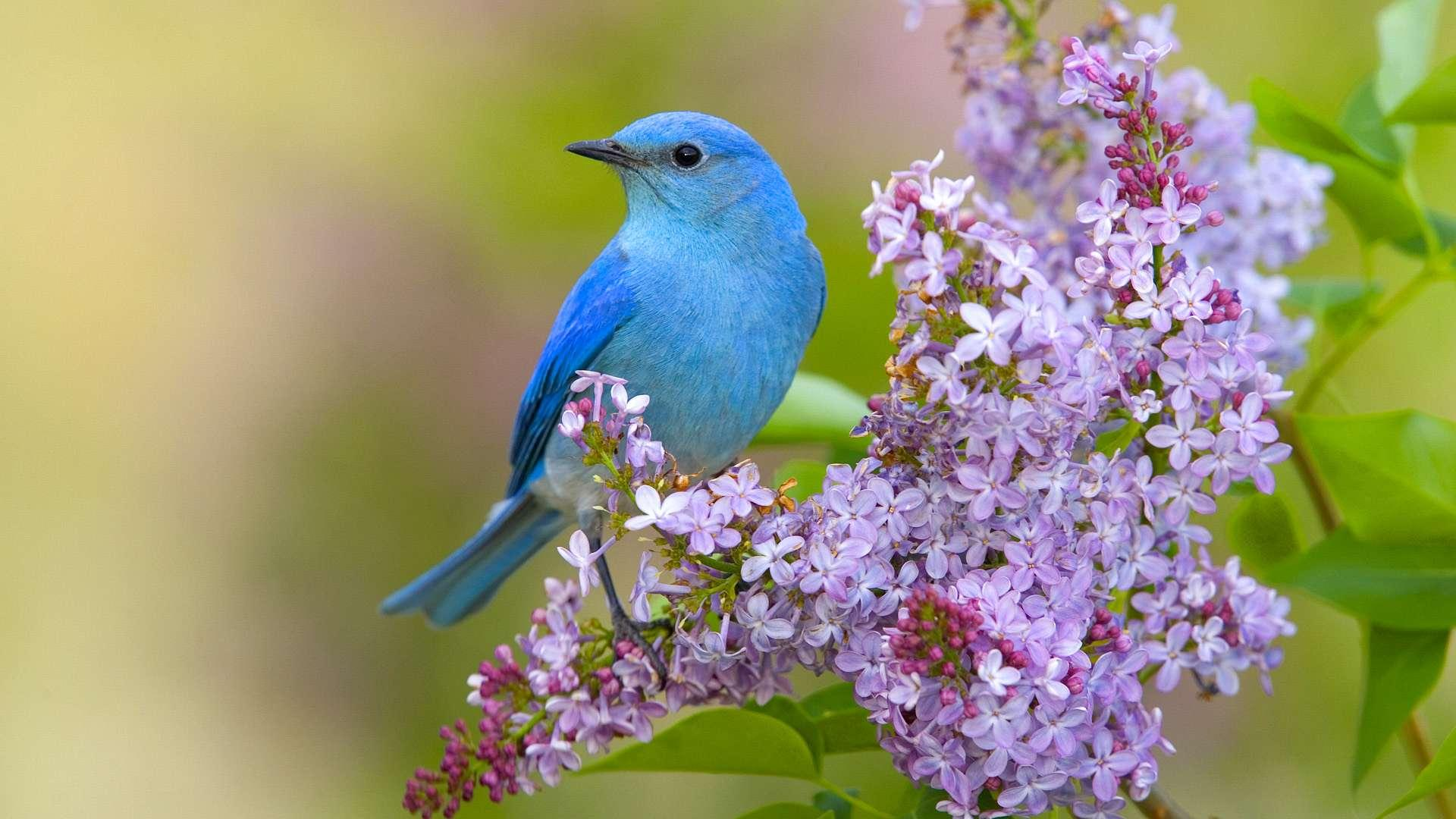 بالصور صور بلابل , صور بلابل والعصافير جميلة 5790 2