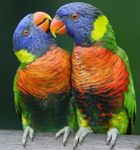 بالصور صور بلابل , صور بلابل والعصافير جميلة 5790 3
