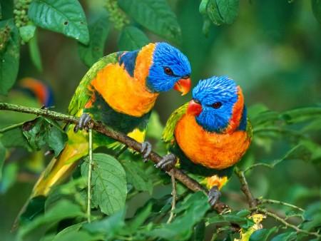 بالصور صور بلابل , صور بلابل والعصافير جميلة 5790 5