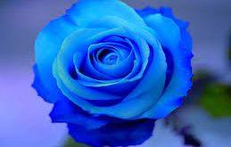 بالصور صور ورود طبيعيه , الورد هدية كلها ذوق 4580 12 259x165