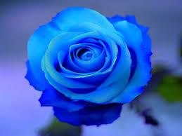 صور صور ورود طبيعيه , الورد هدية كلها ذوق