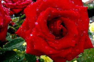 صور خلفيات للواتس اب جديده , صور لاجمل زهور للواتساب للبنات