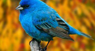 اجمل كناري في العالم , صورة عصافير كناري سبحان الخالق جمال اوي