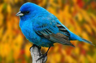 صور اجمل كناري في العالم , صورة عصافير كناري سبحان الخالق جمال اوي