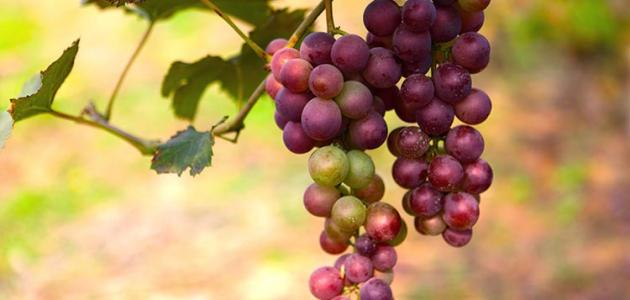 صور فوائد العنب الاحمر , ماهى فوائد العنب الاحمر