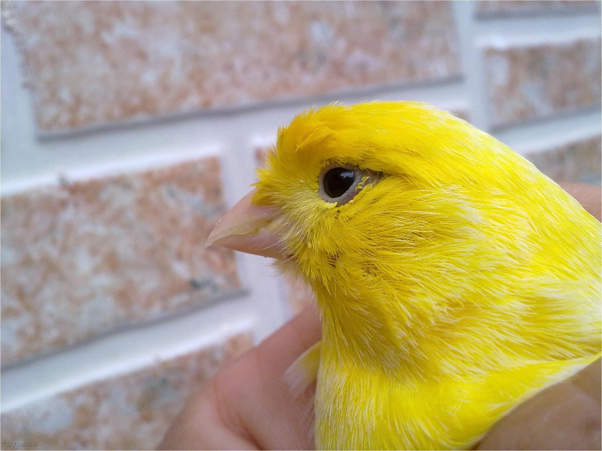 صور صوت عصافير كناري , اجمل صوت في العصافير