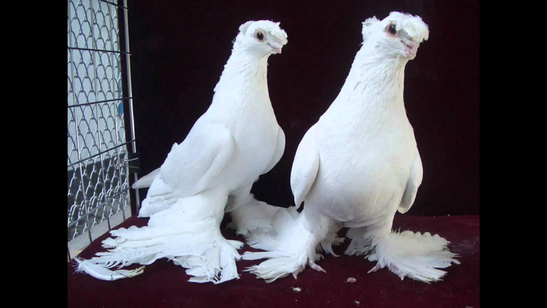 صور صور حمام , احدث الصور لطائر الحمام