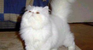 بالصور قطط شيرازى , اجمل قطط الشرازي 1518 13 310x165