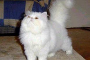 صور قطط شيرازى , اجمل قطط الشرازي