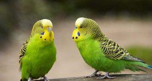 صور عصافير الزينة , اجعل العصافير زينه بيتك