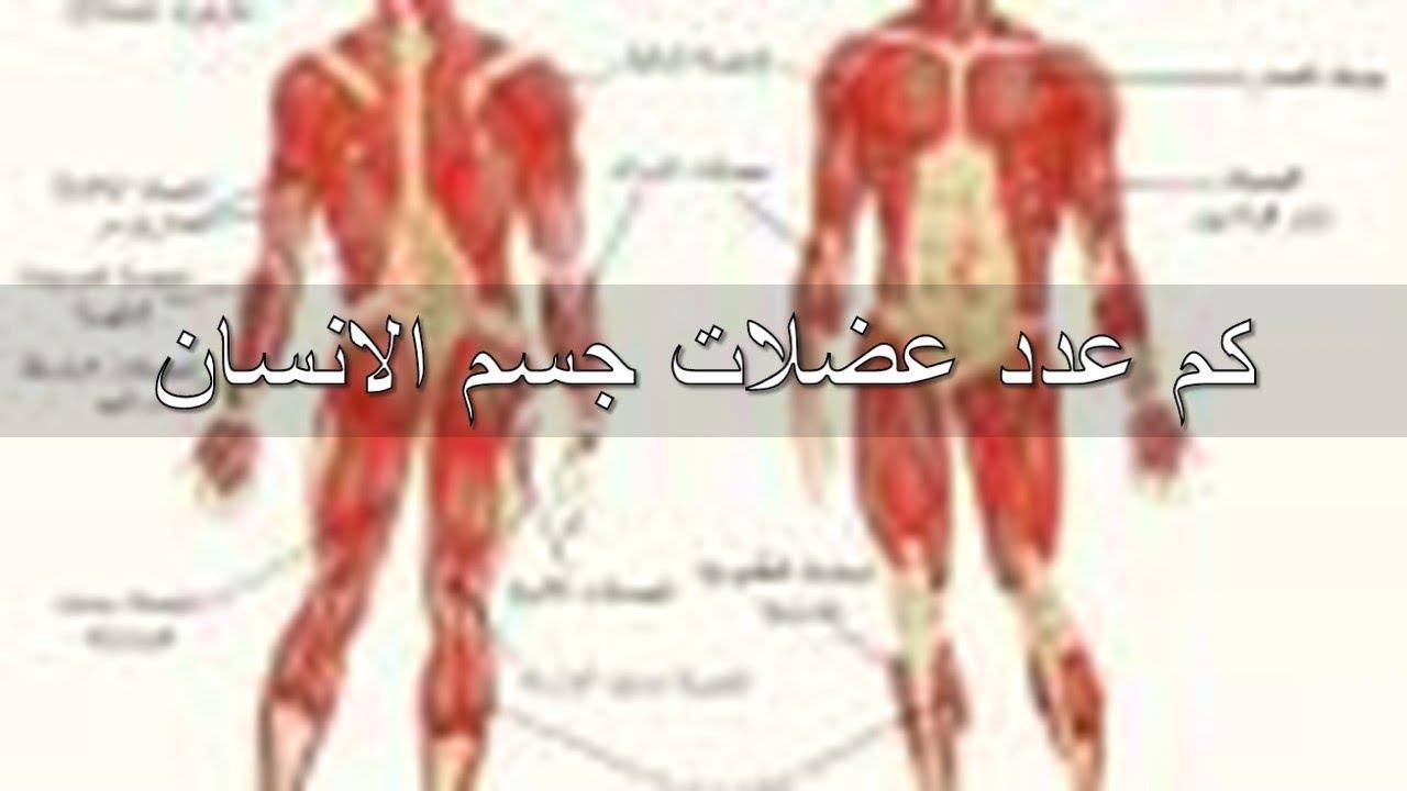 صور كم عدد عضلات جسم الانسان , تعرف على عدد عضلات الجسم البشرى