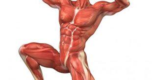 صورة كم عدد عضلات جسم الانسان , تعرف على عدد عضلات الجسم البشرى