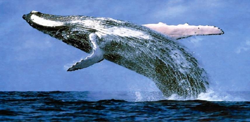 صور اكبر حوت في العالم , تعرف على اكبر الحيتان فى العالم