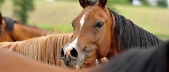 صور حصان عربي , الخيل العربى