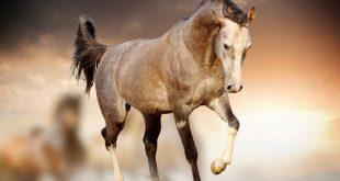 صورة خيول عربية , اجمل صور للخيول العربية الاصيلة