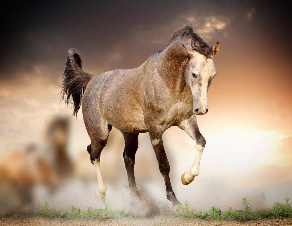 صور خيول عربية , اجمل صور للخيول العربية الاصيلة