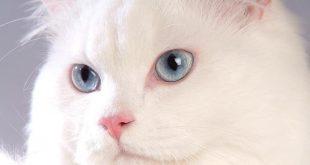 بالصور قطط هملايا , اجمل قطط كيوت 2019 2781 12 310x165