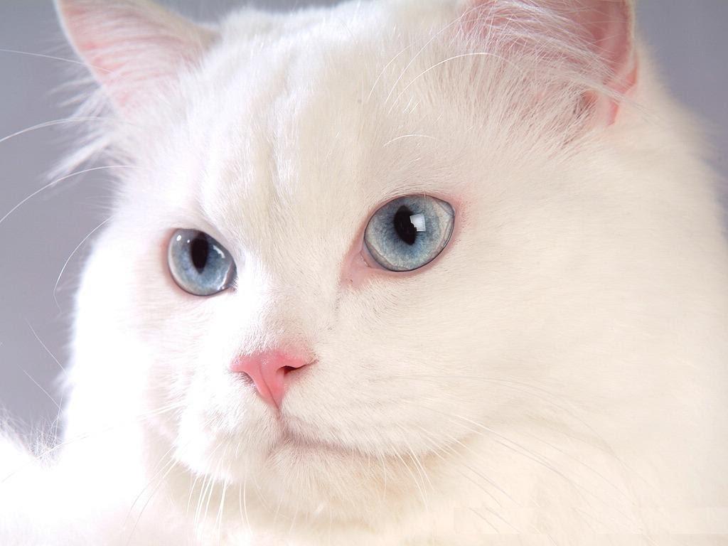 صور قطط هملايا , اجمل قطط كيوت 2019