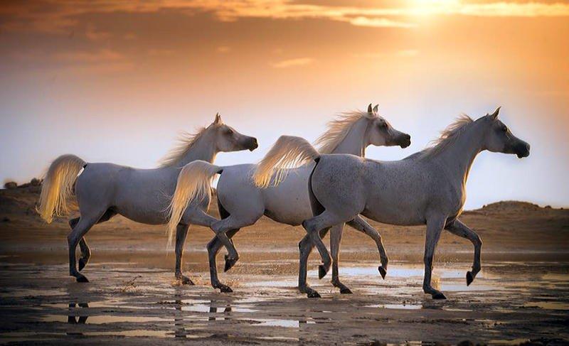 بالصور الخيل العربي الاصيل , صور الحصان العربي الاصيل 4200 14