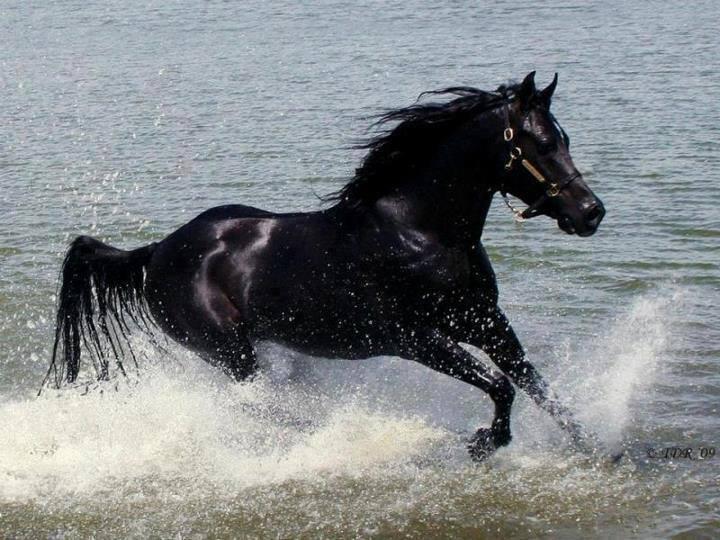 بالصور الخيل العربي الاصيل , صور الحصان العربي الاصيل 4200 15