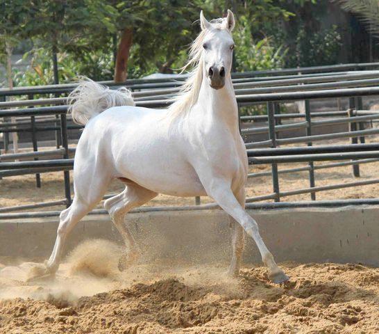 بالصور الخيل العربي الاصيل , صور الحصان العربي الاصيل 4200 17