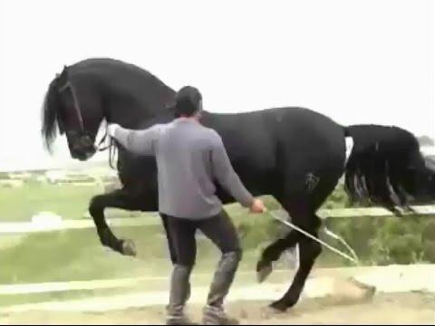 بالصور الخيل العربي الاصيل , صور الحصان العربي الاصيل 4200 18