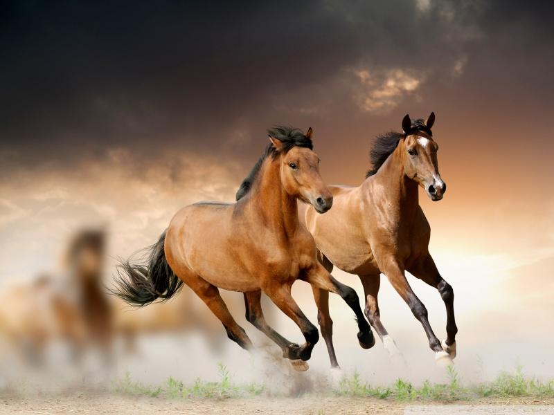 بالصور الخيل العربي الاصيل , صور الحصان العربي الاصيل 4200 19