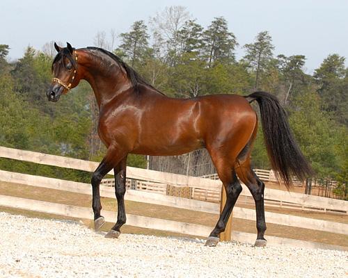بالصور الخيل العربي الاصيل , صور الحصان العربي الاصيل 4200 20
