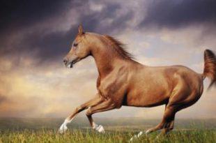 صور الخيل العربي الاصيل , صور الحصان العربي الاصيل