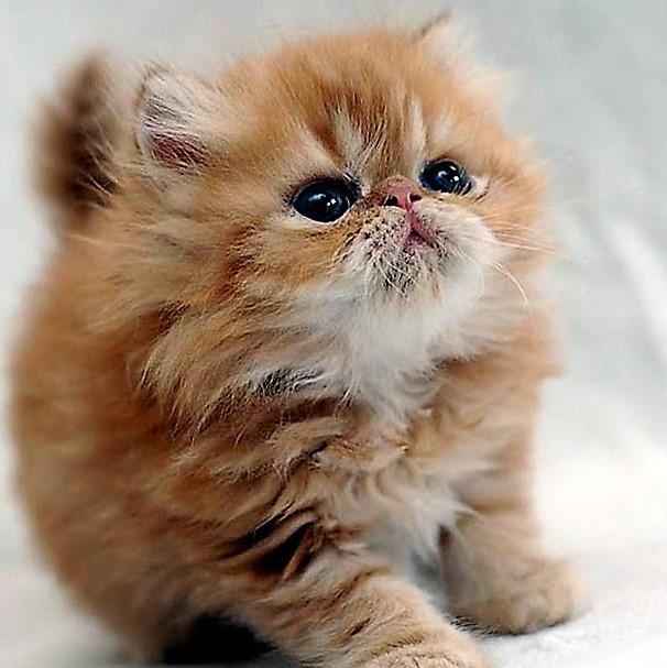 صور صور قطط شيرازي , قطط المنزل قطط شيرازي