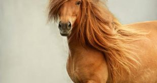 صور صور خيل , اجمل صور خيول عربية جميلة