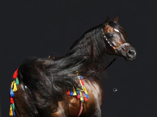 صورة خيول عربية اصيلة , صور لاجمل خيل عربي اصيل للفيسبوك