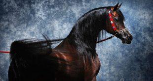 صور خيول عربية اصيلة , صور لاجمل خيل عربي اصيل للفيسبوك