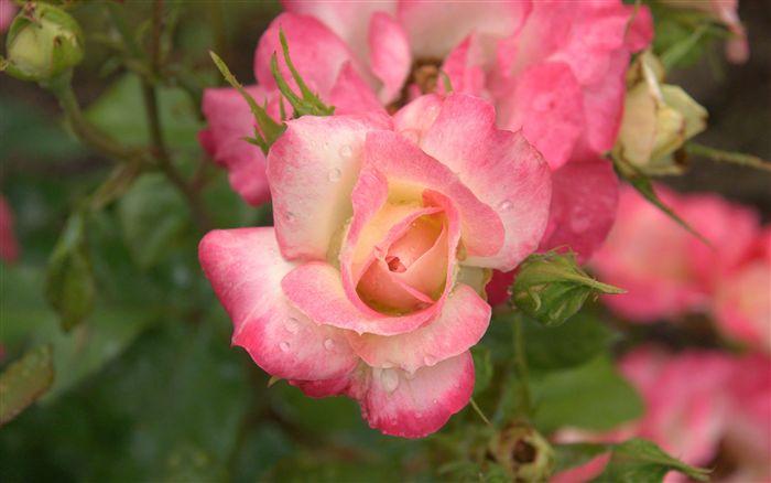 بالصور ورد طبيعي , وردة طبيعية زاهية 489 11