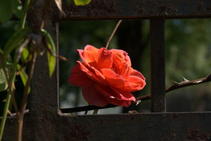 بالصور ورد طبيعي , وردة طبيعية زاهية 489 12