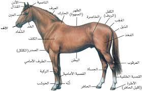 صور خيل عربي اصيل , اجمل خيل عربى اصيل