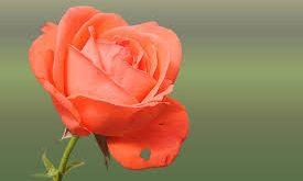 بالصور صور ورود جميلة , اختارى اجمل وردة 5258 10 275x165