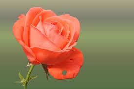 صور صور ورود جميلة , اختارى اجمل وردة