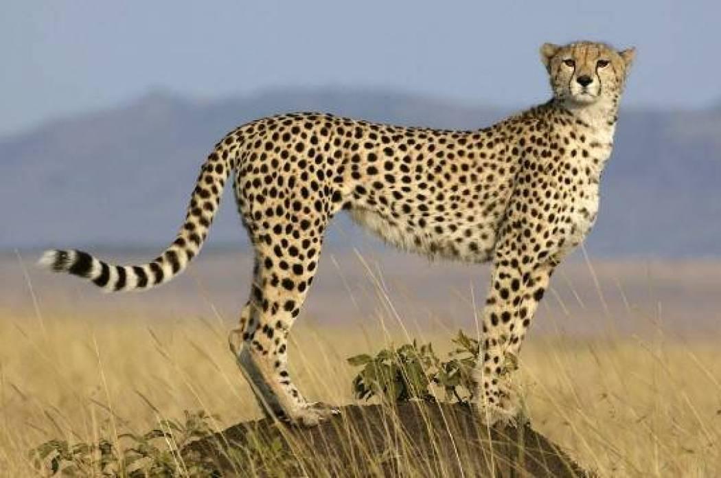 صور اسرع حيوان في العالم , ماهي اسرع حيوانات على و جه الارض