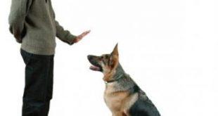 بالصور كيفية تدريب الكلاب , تعليم الكلاب في منزل لاول مره الطاعة و الهجوم 6584 3 310x165
