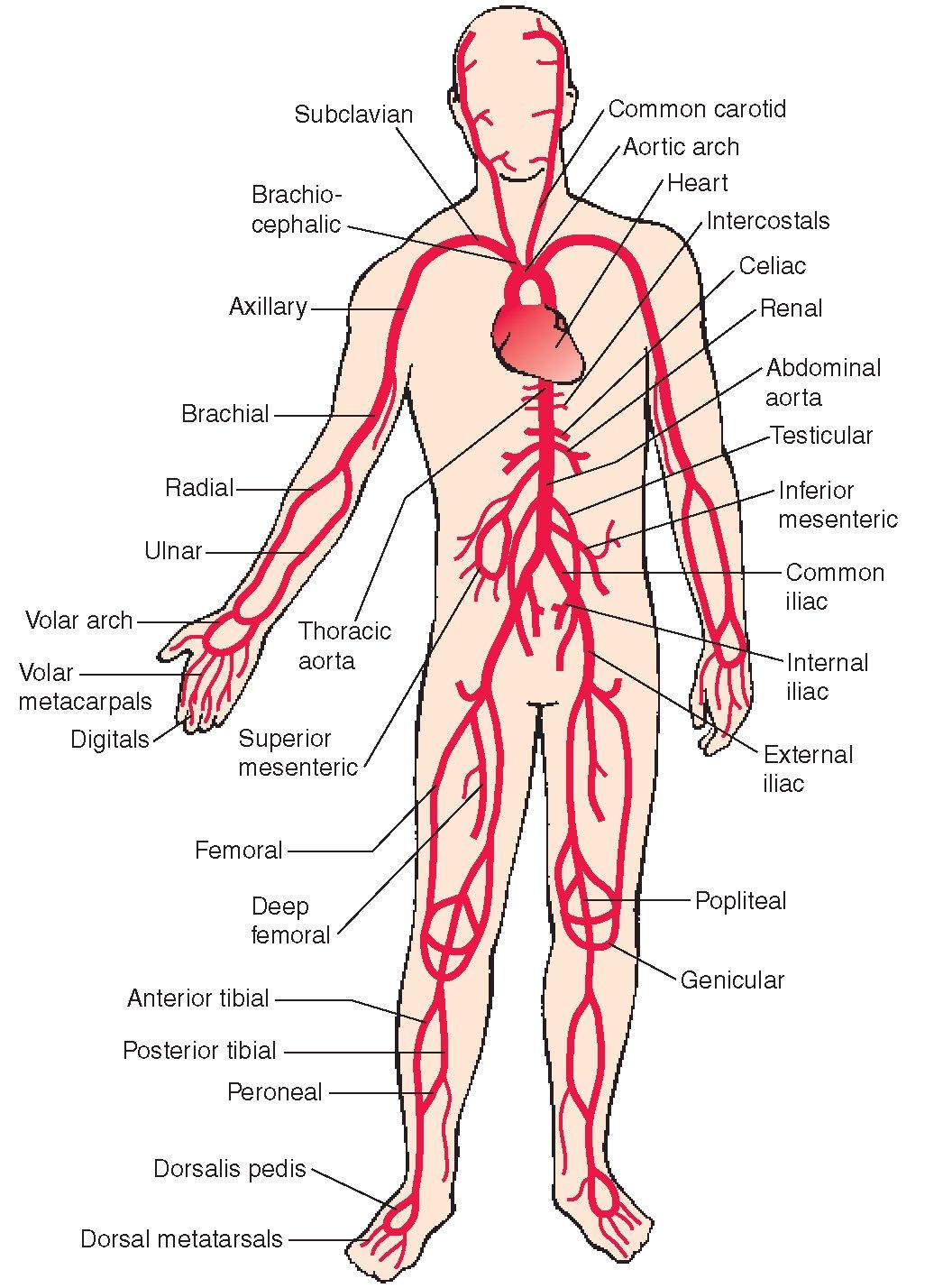 بالصور جسم الانسان بالصور , اكتشف ما في داخل جسمك بالصور 1291 8