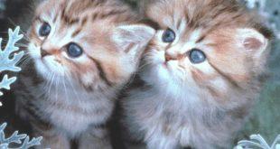 بالصور صور قطط جميلة , حب القطط للبشر 1292 15 310x165