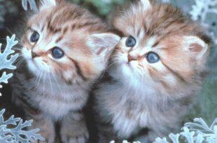 بالصور صور قطط جميلة , حب القطط للبشر 1292 15 310x205